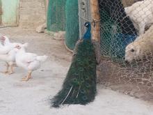 طاووس نر  چابهارنوبندیان در شیپور-عکس کوچک