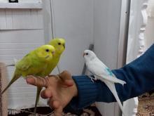3 عدد مرغ عشق سوپر رام دستی واقعی در شیپور-عکس کوچک