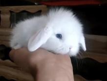 خرگوش مینی لوپ در شیپور-عکس کوچک