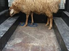 ذبح گوسفنددرهرنقاط. در شیپور-عکس کوچک