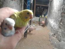 مرغ عشق و فنچ در شیپور-عکس کوچک