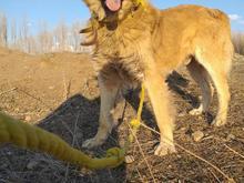 سگ سرابی چهار ساله در شیپور-عکس کوچک