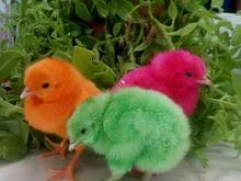 ارائه کننده بهترین نژاده جوجه مرغ  در شیپور-عکس کوچک
