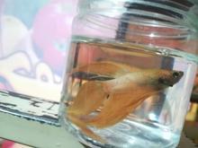 ماهی فایتر نر نژاد هافمون  در شیپور-عکس کوچک