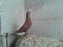 ماده سرخ پلاکی در شیپور-عکس کوچک