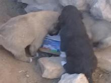 توله سگ گله اصیل قدرجون در شیپور-عکس کوچک