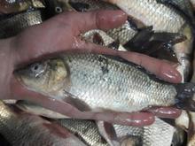 فروش بچه ماهی کپور و آمور  در شیپور-عکس کوچک