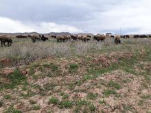 چوپان جهت گوسفند چرانی در شیپور-عکس کوچک