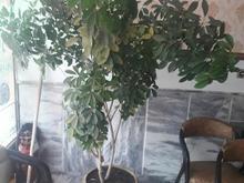 گلوگلدان بزرگ برای سالن وبانک ومغازه در شیپور-عکس کوچک