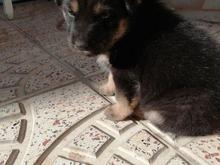 توله سگ روتوایلر  در شیپور-عکس کوچک