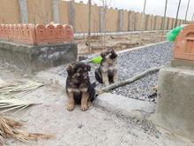 گمشده 2 عدد سگ در شیپور-عکس کوچک