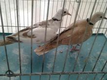 کبوتر معاوضه با مرغ محلی در شیپور-عکس کوچک