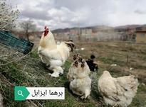 مرغ و خروس نژاددار اصیل تخم گذار در شیپور-عکس کوچک