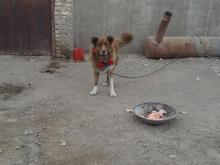 سگ نر سرخ قدرجونی 20 ماهه درشت در شیپور-عکس کوچک