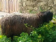 کوه قوچی کله سیاه از بهترین نژاد در شیپور-عکس کوچک