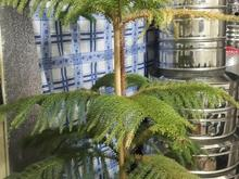 درختچه کاج مطبق در شیپور-عکس کوچک