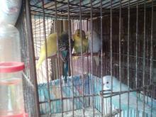 فروش 3عدد مرغ عشق نر در شیپور-عکس کوچک