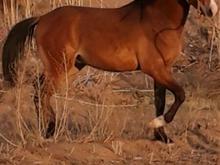 اسب نریان عرب در شیپور-عکس کوچک