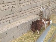 بز مری دو قلو زا  در شیپور-عکس کوچک