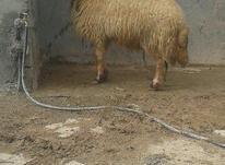 قوچ سنجابی درجه یک  در شیپور-عکس کوچک