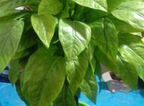 درختچه مصنوعی جهت رستورانهاوسفره خانه ها  در شیپور-عکس کوچک
