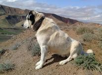سگ گله ای و نگهبان و آدمی در شیپور-عکس کوچک
