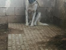 سگ قدرجونی اصفهان نگهبان معاوضه با مرغ وخروس  در شیپور-عکس کوچک