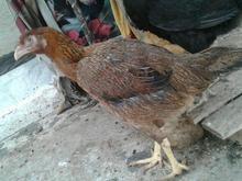 مرغ لاری اصل در شیپور-عکس کوچک