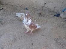 کبوتر نر ملاقی  در شیپور-عکس کوچک