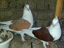 کبوتر جفت دوکت  در شیپور-عکس کوچک