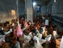 مرغداری سنتی در شیپور-عکس کوچک
