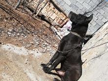 سگ گریت دین  در شیپور-عکس کوچک
