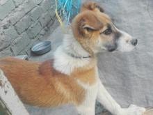فروشی .سگ ایرانی اصیل  در شیپور-عکس کوچک