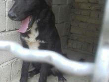سگ میکس افغان و سراب در شیپور-عکس کوچک