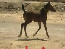 کره اسب مادیون در شیپور-عکس کوچک