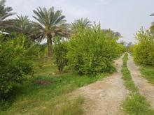 باغ لیمو و نخیلات180000متر در شیپور-عکس کوچک