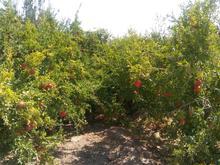 باغ و ویلا مناسب برای گلخانه،زعفران،پسته50000م در شیپور-عکس کوچک