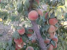 باغ 6هزارمتری هرررر نوع میوه روداره در شیپور-عکس کوچک