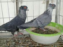 کبوتر موشی طوق دار  در شیپور-عکس کوچک