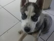 سگ هاسکی توله سگ هاسکی در شیپور-عکس کوچک