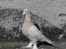 کفتر هیکلی در شیپور-عکس کوچک
