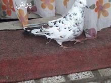 کبوتر تهران پرش سنگین  جنسیت ماده در شیپور-عکس کوچک