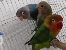 فروش 3 عدد طوطی برزیلی کوچولو ناز و بازیگوش  در شیپور-عکس کوچک