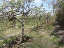 باغ کیوی 2000مترمربع روستای شیرآباد تالش آستارا در شیپور-عکس کوچک