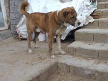 سگ رخ ذات افغان در شیپور-عکس کوچک