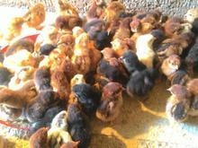 فروش جوجه مرغ 3روزه رسمی در شیپور-عکس کوچک