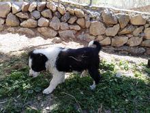 توله سگ قدرجونی  در شیپور-عکس کوچک
