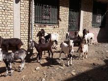 فروش بز پاکستانی 22 راس در شیپور-عکس کوچک