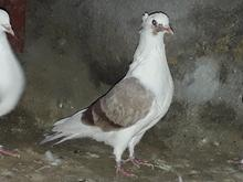 کبوتر تزئینی در شیپور-عکس کوچک