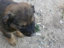 توله سگ. افغان. .فوق العاده در شیپور-عکس کوچک